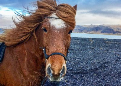 A brown Icelandic horse