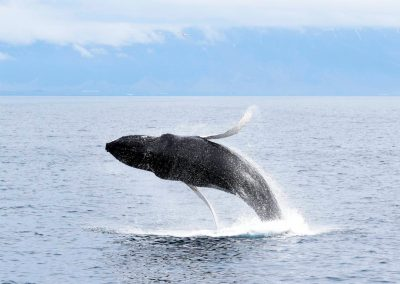 Whale jumping in Iceland