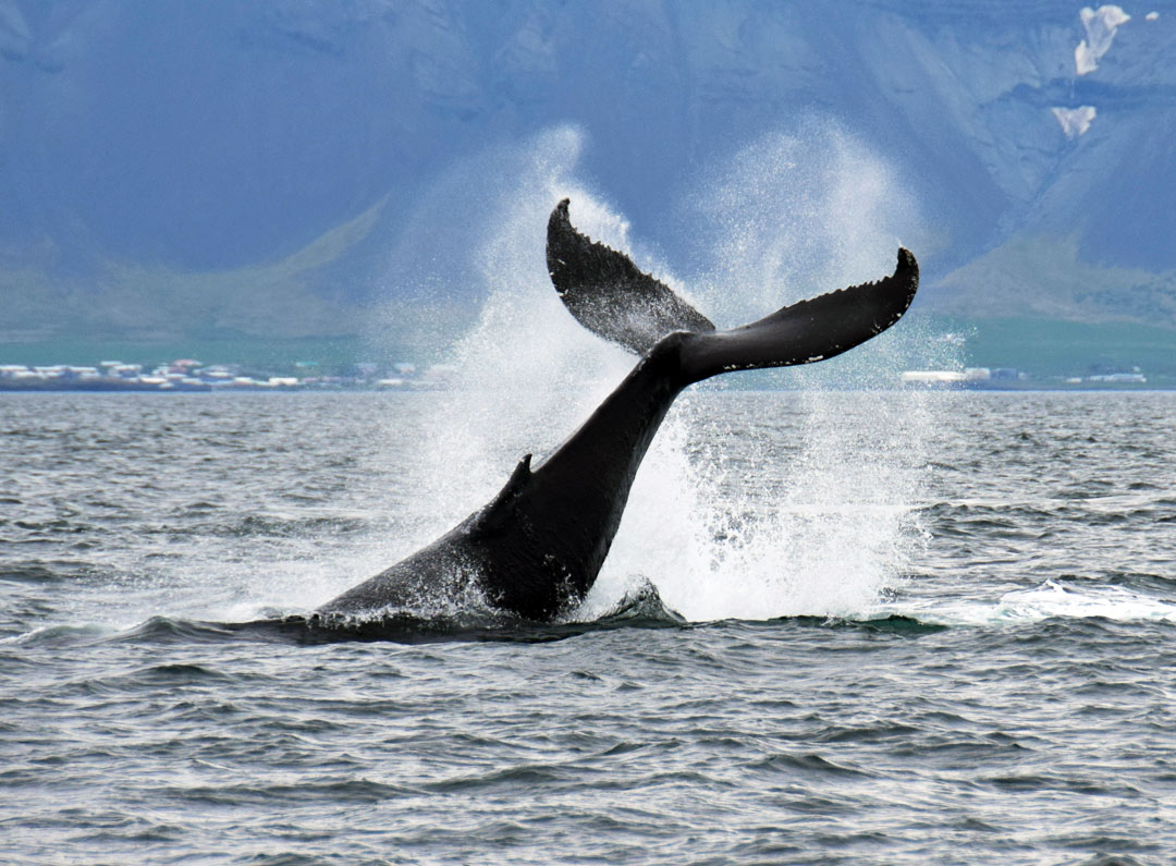 Iceland-Luxury-Tours-Whale-watching-2