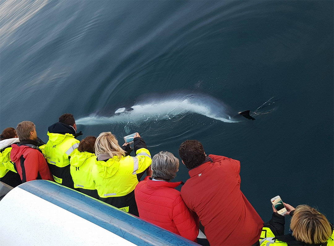Iceland-Luxury-Tours-Whale-watching-4